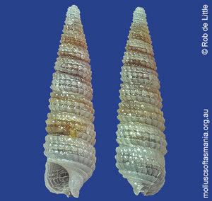 Eutriphora pseudocana