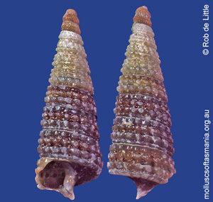 Eutriphora tricolor