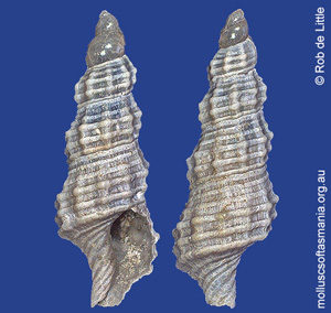 Exomilopsis spica