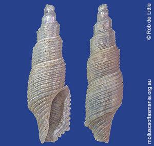 Exomilus cylindricus