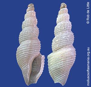 Filodrillia columnaria