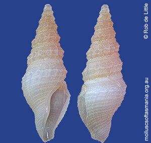 Filodrillia delicatula