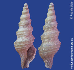 Filodrillia tricarinata