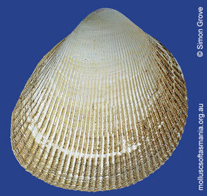 Fulvia tenuicostata