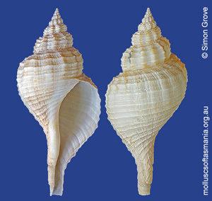 Fusinus pyrulatus