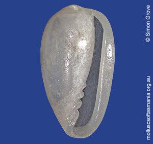 Gibberula diplostreptus
