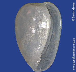 Gibberula pulchella