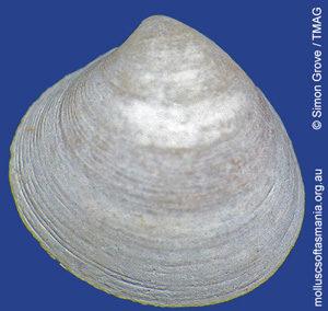 Gouldiopa australis