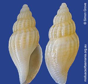 Guraleus australis
