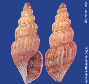 Guraleus fallaciosus