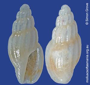 Guraleus flaccidus