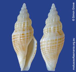 Guraleus mitralis