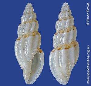 Guraleus pictus