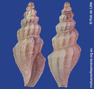 Guraleus tasmantis tritomus