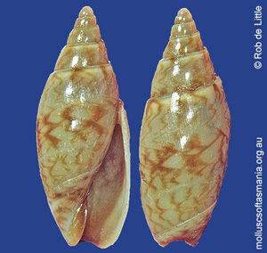 Belloliva leucozona