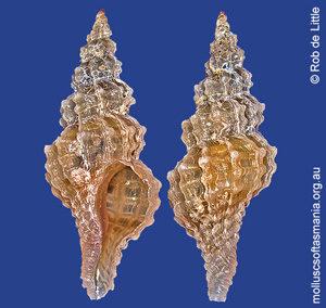 Benthoxystus columnarius