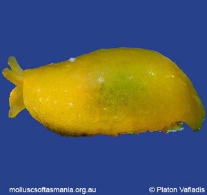 Berthellina citrina