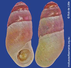 Botelloides bassianus
