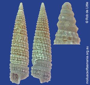 Bouchetriphora pallida