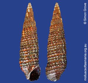 Cacozeliana granarium