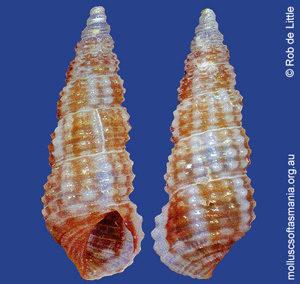 Cacozeliana icarus