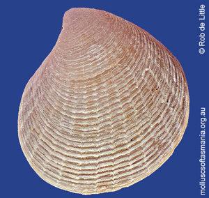 Carditellopsis elegantula