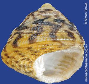 Clanculus aloysii