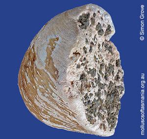Cleidothaerus albidus