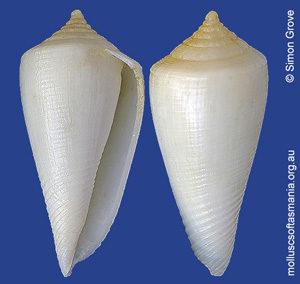 Conus clarus