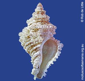 Coralliophila wilsoni