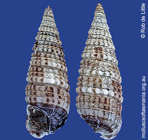 Costatophora granifera
