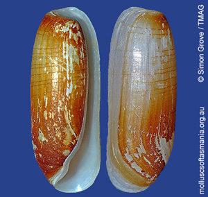 Cylichna thetidis