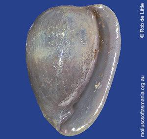 Cystiscus cratericula