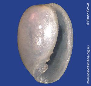 Cystiscus halli