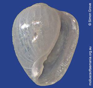 Cystiscus subauriculatus
