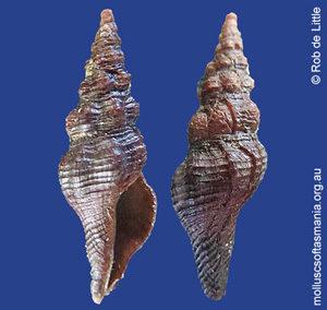 Dolicholatirus thesaurus