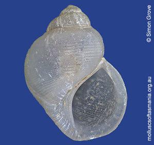 Dolicrossea labiata