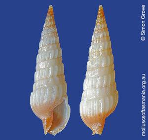 Duplicaria ustulata