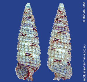 Aclophoropsis festiva