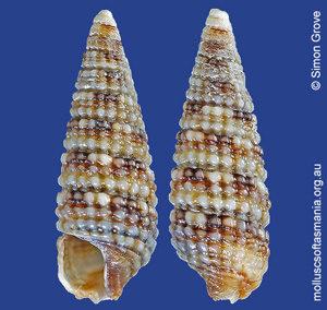 Aclophoropsis maculosa