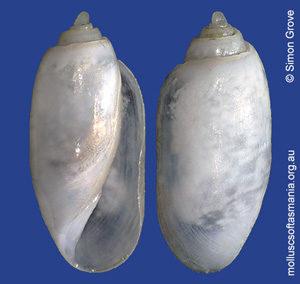 Acteocina apicina
