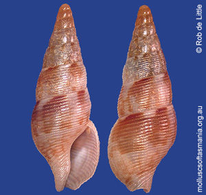 Aesopus plurisulcatus