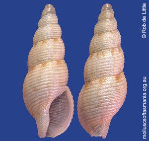 Aesopus solidus
