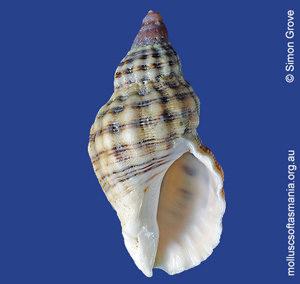 Agnewia tritoniformis