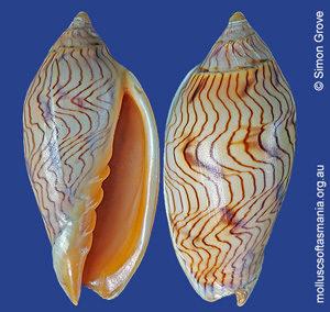 Amoria undulata