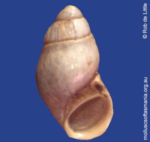 Amphithalamus TAS sp 01