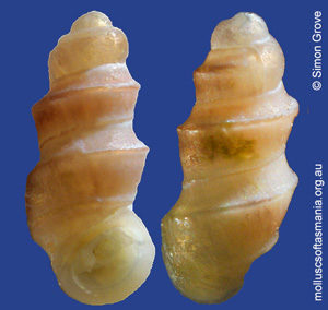 Anabathron contabulatum