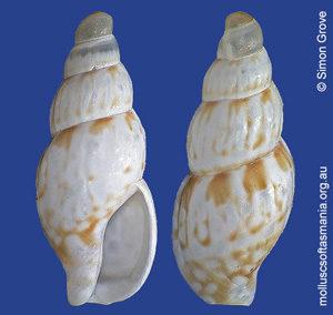 Anachis beachportensis