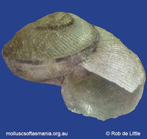 Anatoma tobeyoides