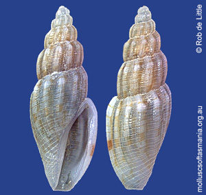 Antiguraleus kingensis